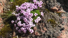 Small pink-purple flowers on the northern cliff. Stock Footage