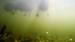 Ducks eat bread in water, shooting from under water, paws of birds are visible Stock Footage