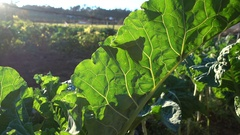 Big leaf of collard plant growing on a field Stock Footage