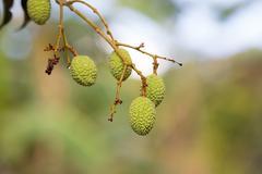 Unripe exotic fruit Lychee, madagascar Stock Photos