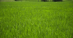 Paddy field in South America in Peru Stock Footage
