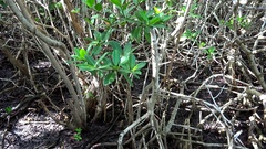 Red Mangroves thickets (Rhizophora mangle) in Caribbean islands, Cuba. Stock Footage