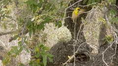Village Weaver male building nest Stock Footage