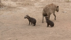 Hyena small pups together Zooming in, high angle Stock Footage