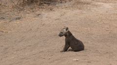 Hyena small pups siting together, lock shot in high angle Stock Footage