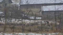 Winter Sheep in Yard Stock Footage