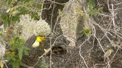 Village Weaver male showing of trying impress a nearby female Stock Footage