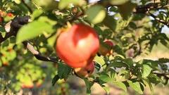 Apple on tree/Fruit/Nature/garden Stock Footage