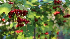 Viburnum opulus, Guelder Rose, branch with red berries in breeze. Stock Footage
