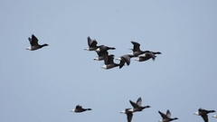 Slow motion Brent Geese in flight Stock Footage