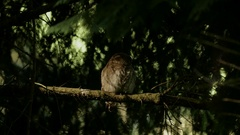 Female Pygmy Owl perched in the deep forest before taking flight Stock Footage
