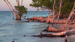 Dried seaweed on Dead mangrove roots at the coast of Cayo Levisa island. Cuba Stock Footage
