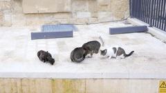 Valletta, Malta - Homeless animals cats eat food on the street Stock Footage