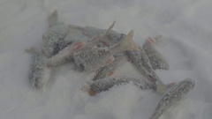 The fish catch on the ice during winter fishing Stock Footage