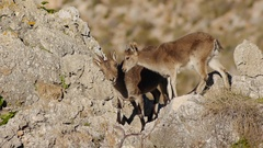 Iberian ibex in their domains Stock Footage