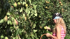 Pretty country woman girl picking pear fruits from the pear tree to wicker Stock Footage