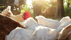 Feeding of domestic chickens at a farm Stock Footage