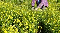 Farmer harvesting Chrysanthemum flower. Stock Footage