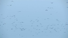 A flock of birds flying Stock Footage