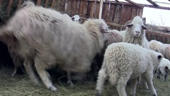 Sheep and lambs whites fleeing under cover where they ate flour Stock Footage