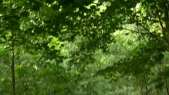 Walking on a trail through the forest green deciduous dense crowns of Stock Footage