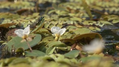 Dragonfly in the swamp,zoom out Stock Footage