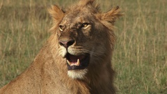 Zoom out of a male lion sitting in the plains of mara Stock Footage
