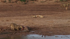 Zoom out of a lion eating a giraffe on the side of a river Stock Footage