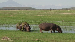 Zoom in of two hippos grazing out of a swamp Stock Footage