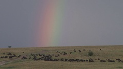 Wildebeests grazing in the plains with a rainbow in the background Stock Footage
