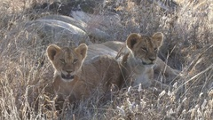 Two young lion cubs close up Stock Footage