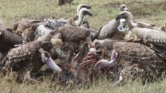Vultures eating the head of a wildebeest Stock Footage