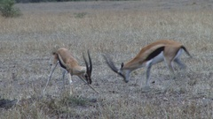Thompson gazelles tired from fighting Stock Footage