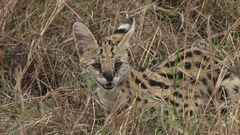 Serval cat walking through tall grass Stock Footage