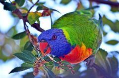 Curious colourful Australian rainbow lorikeet parrot feeding in a tree Kuvituskuvat
