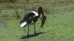 Saddle billed stork catches a big lungfish Stock Footage