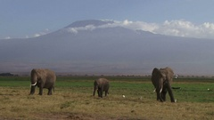 Three elephants eating with kilimanjaro in the background Stock Footage