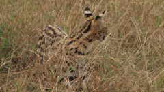 Serval cat wandering in the bush Stock Footage