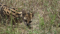 Serval cat eating a rat in the grassland Stock Footage