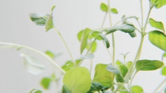 Basil Rotating on a White Background Stock Footage