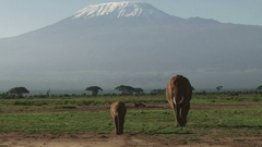 Mother and baby elephant walking down kilimanjaro Stock Footage