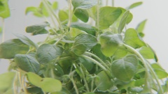 Oregano Rotating on a Blue Background Stock Footage