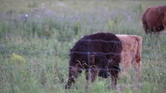 Baby highland cattle scratching an itch Stock Footage