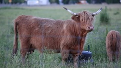 Long horned highland cow walks out of frame Stock Footage