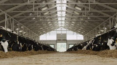 Cows in the barn Stock Footage