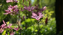 Magnolia susan Magnoliaceae, M.stellata, M.liliflora . Natural spring background Stock Footage