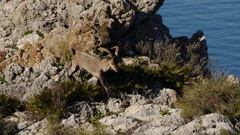 Iberian ibex for its domains Stock Footage