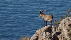Iberian ibex and sea Stock Footage