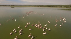 Flock of Flamingos in east african lake Stock Footage