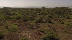 Aerial view of giraffe herd in green bushland Stock Footage